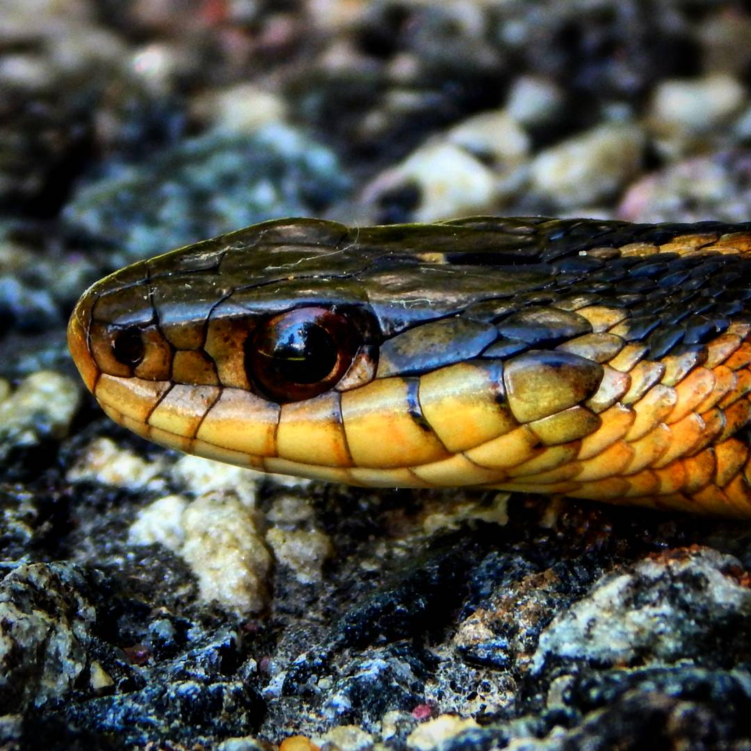 Common Garter Snake, Anything but Common | UNARMED HUNTING